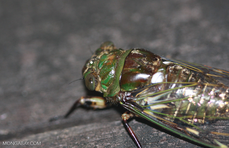 Green and brown cicada -- borneo_4066