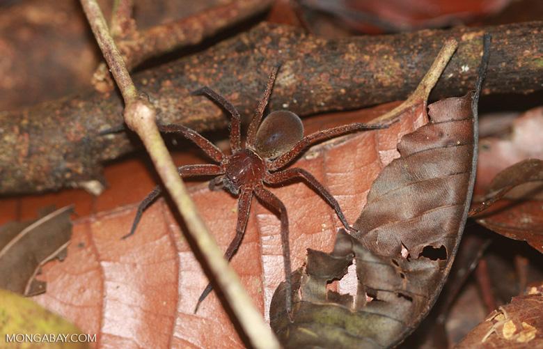 Reddish spider