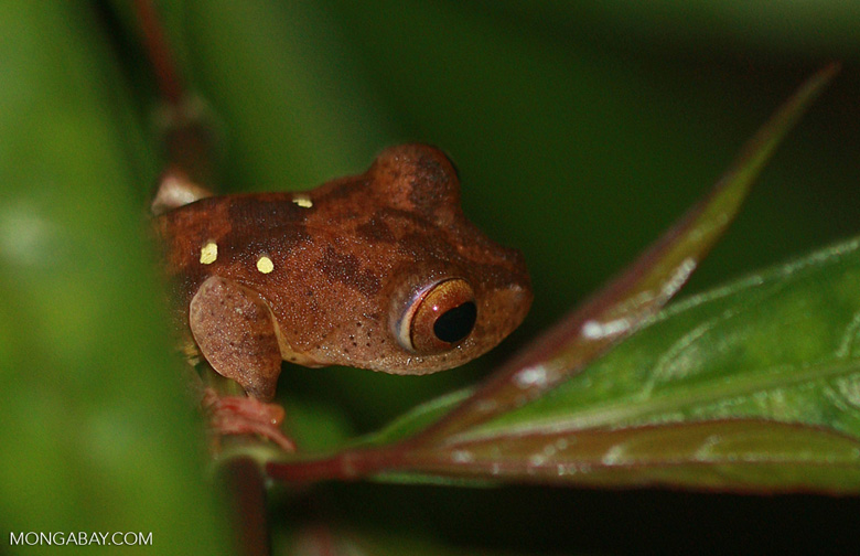 Brownish frog with green spots