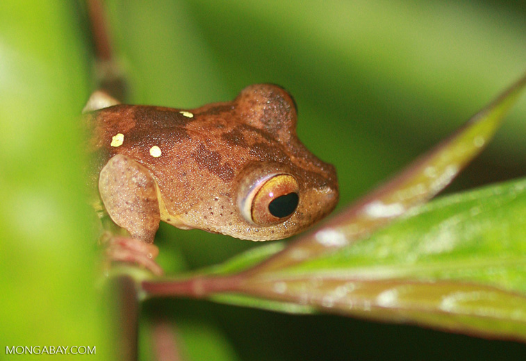 Brownish frog with green spots -- borneo_4083