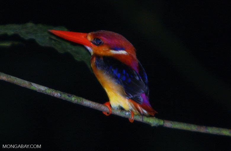 Black-backed Kingfisher (Ceyx erithacus) -- borneo_4099