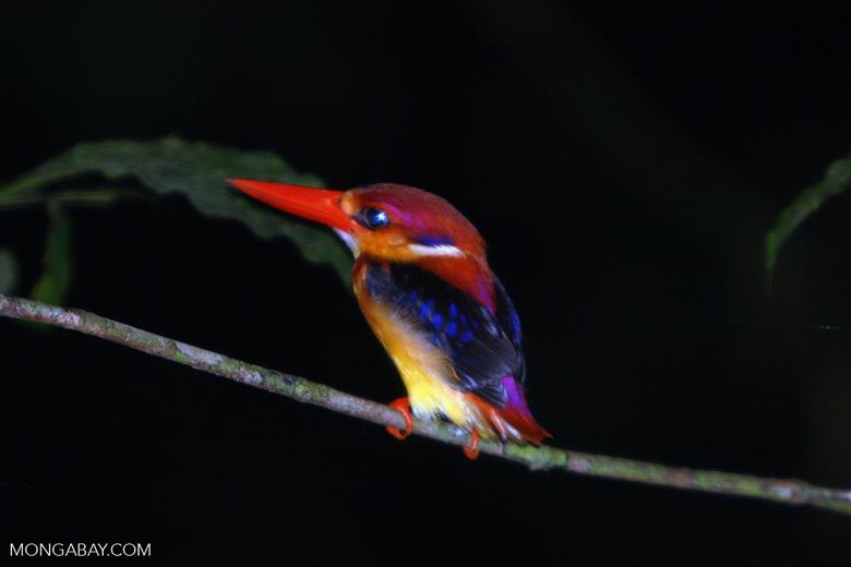 Black-backed Kingfisher (Ceyx erithacus) -- borneo_4100