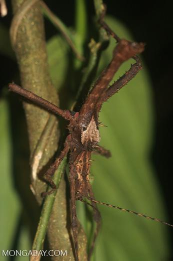 Giant stick insect in Borneo -- borneo_4123