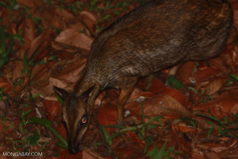 Lesser Mouse Deer (Tragulus javanicus) -- borneo_4150