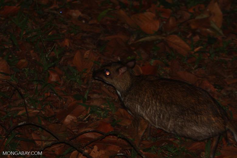 Lesser Mouse Deer (Tragulus javanicus) -- borneo_4155