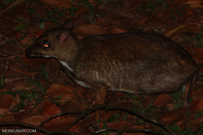 Lesser Mouse Deer (Tragulus javanicus) -- borneo_4160