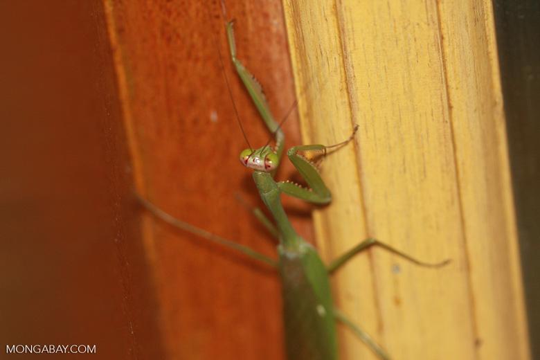 Green praying mantis -- borneo_4198