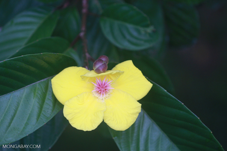 Yellow and pink flower -- borneo_4202