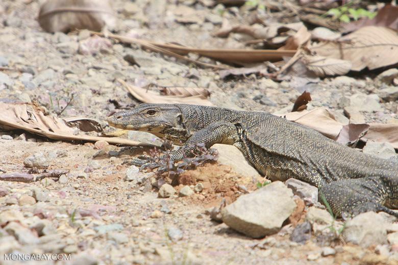 Water monitor lizard (Varanus salvator) -- borneo_4298