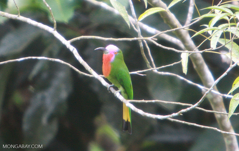 Green bird with a lavender face, a red chest, and a yellow and black tail -- borneo_4300