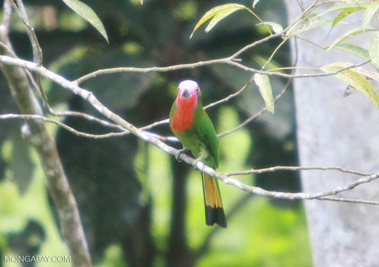 Green bird with a lavender face, a red chest, and a yellow and black tail -- borneo_4330