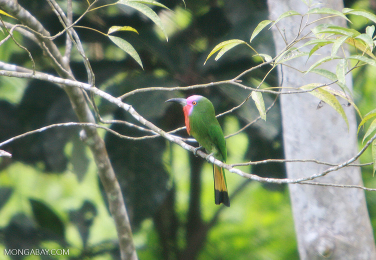 Green bird with a lavender face, a red chest, and a yellow and black tail -- borneo_4336