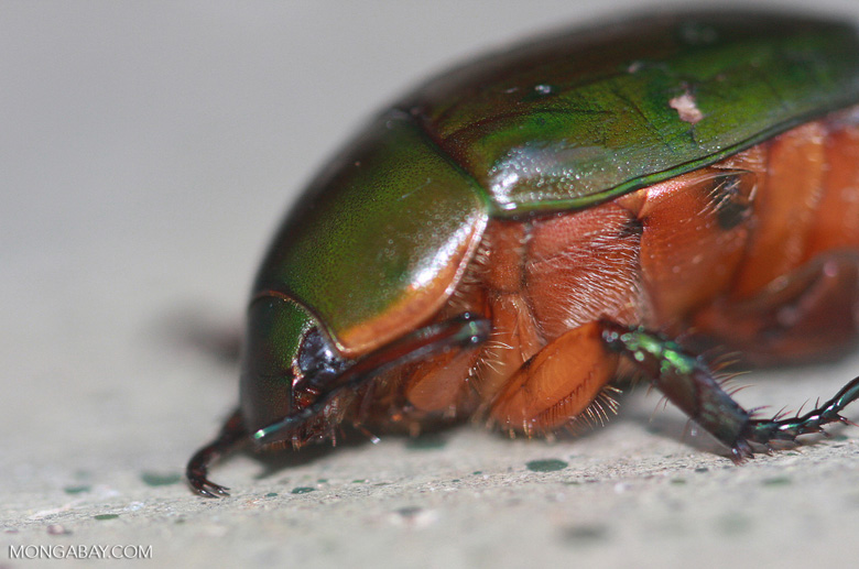 Green backed beetle with orange underparts -- borneo_4441