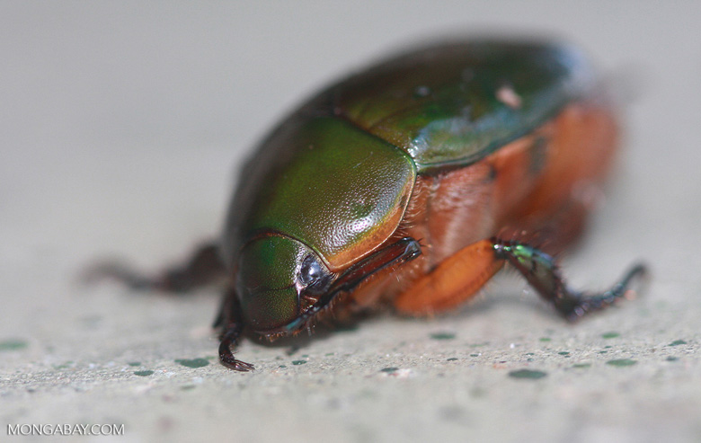 Green backed beetle with orange underparts