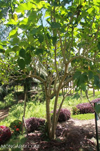 Jatropha curcas tree -- borneo_4537