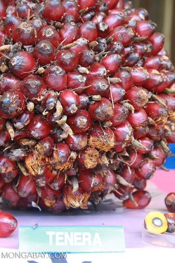 Tenera oil palm -- borneo_4574