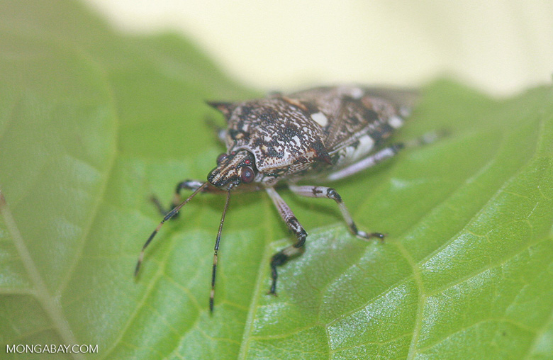Platynopus melanoleueus, an insect used for integrated pest management of oil palm pests