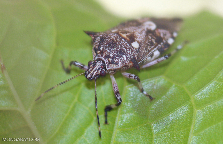 Platynopus melanoleueus, an insect used for integrated pest management of oil palm