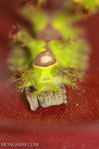 Adult nettle caterpillar (Thosea vetusta), an oil palm pest