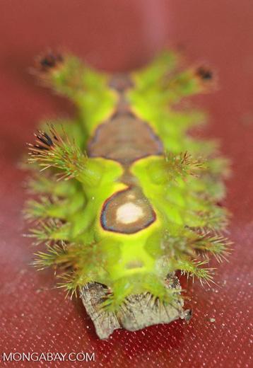 Adult nettle caterpillar (Thosea vetusta) -- borneo_4638