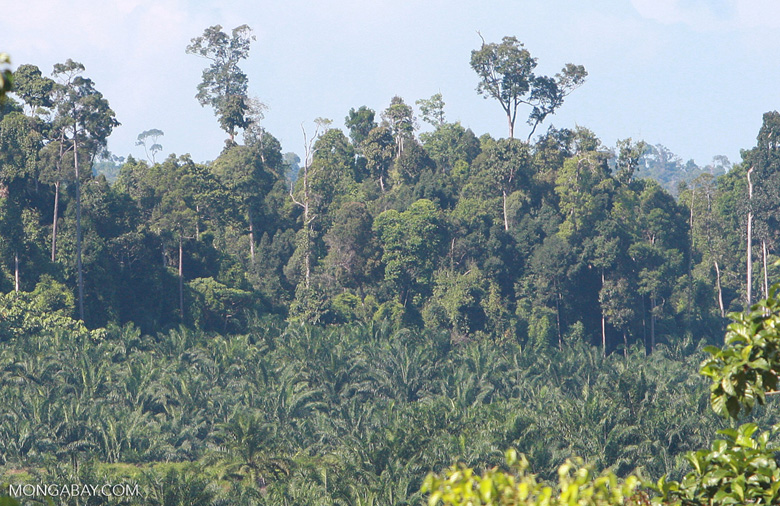 Oil palm plantation established on former rainforest land