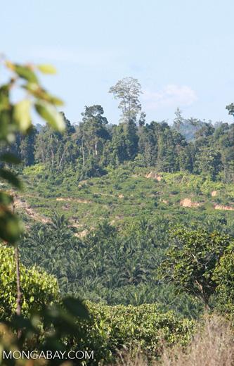 Oil palm plantation established on former rainforest land -- borneo_4771