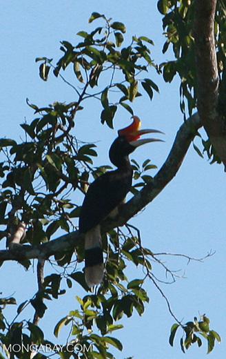 Rhinoceros Hornbill (Buceros rhinoceros) -- borneo_4792