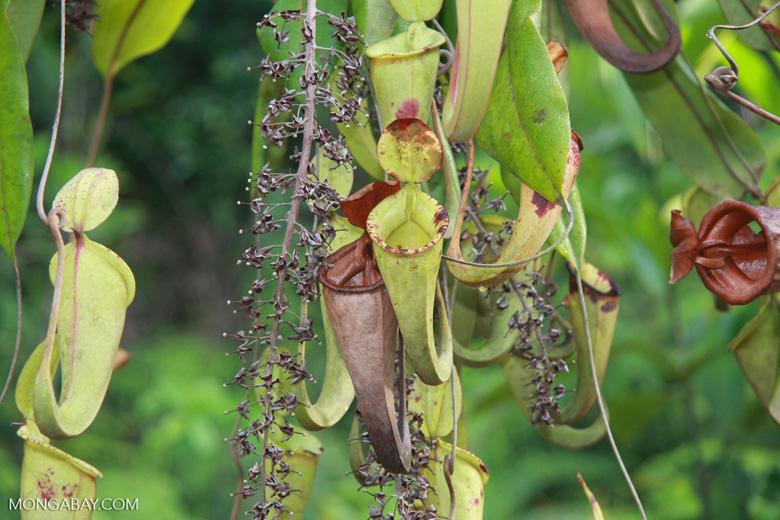 Slender pitcher plant (Nepenthes gracilis) -- borneo_4938