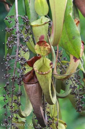 Slender pitcher plant (Nepenthes gracilis) -- borneo_4941