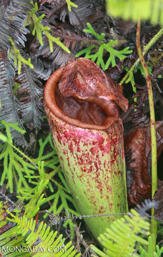 Common Swamp Pitcher-Plant (Nepenthes mirabilis)