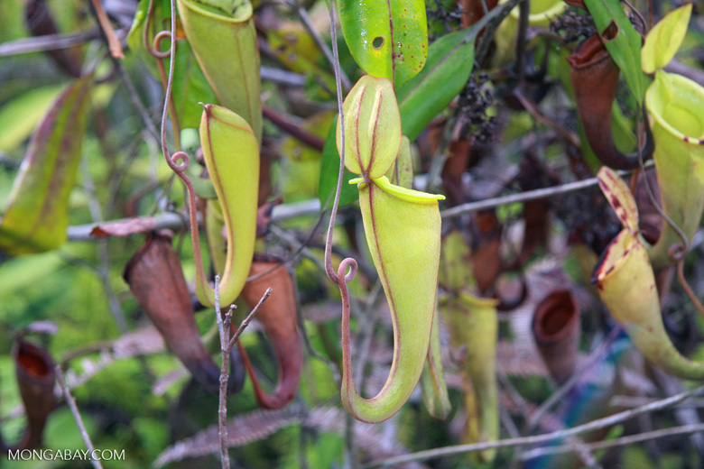 Slender pitcher plant (Nepenthes gracilis)