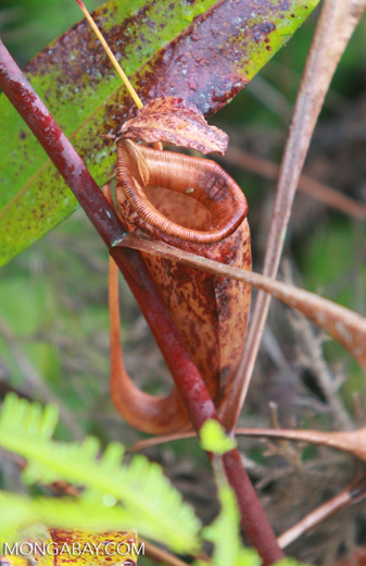 Dying (red-colored) Nepenthes mirabilis pitcher plant