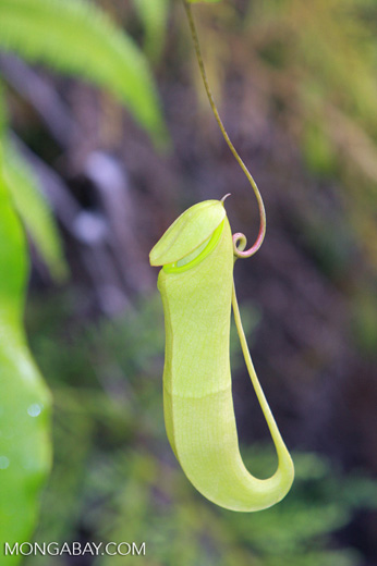 Nepenthes mirabilis pitcher plant