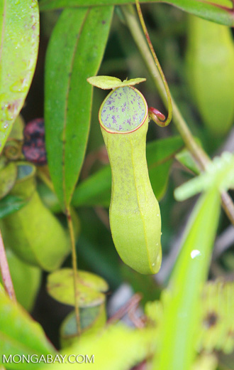 Slender pitcher plant (Nepenthes gracilis) -- borneo_4982