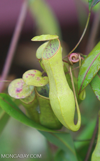 Slender pitcher plant (Nepenthes gracilis) -- borneo_4994