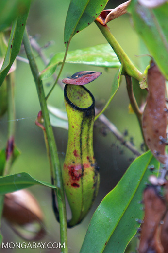 Black, green, and red slender pitcher plant (Nepenthes gracilis) -- borneo_4997