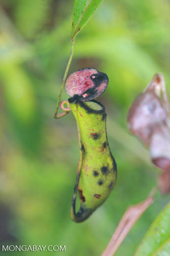 Black, green, and red slender pitcher plant (Nepenthes gracilis) -- borneo_5013