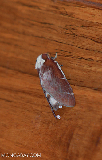 Brown and white moth