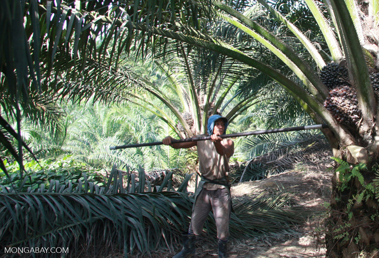 Harvesting oil palm fruit -- borneo_5024