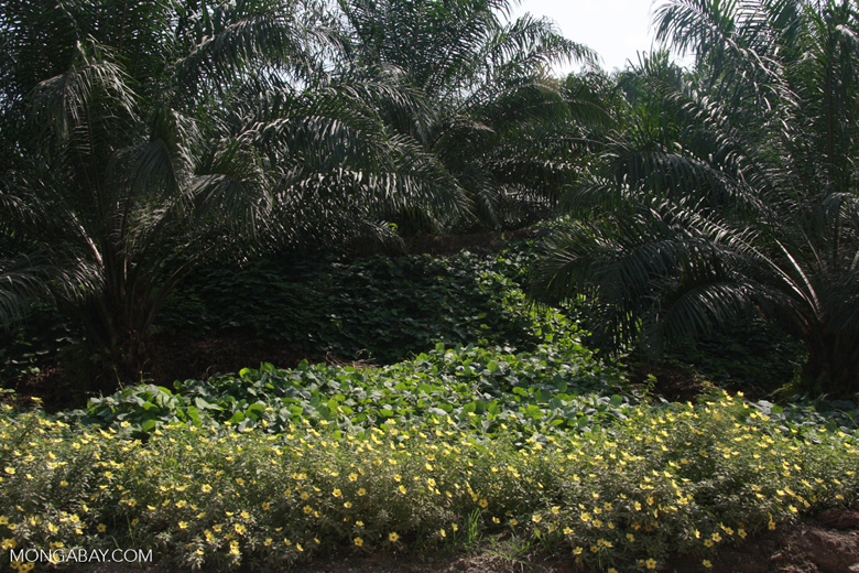 Nitrogen-fixing cover crop and integrated pest management-friendly flowers in an oil palm plantation