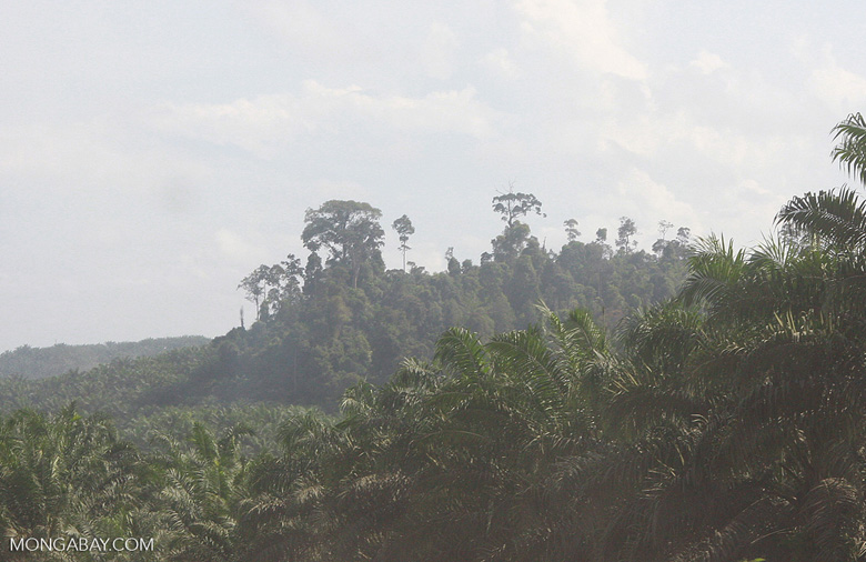 Forest fragment within an oil palm plantation