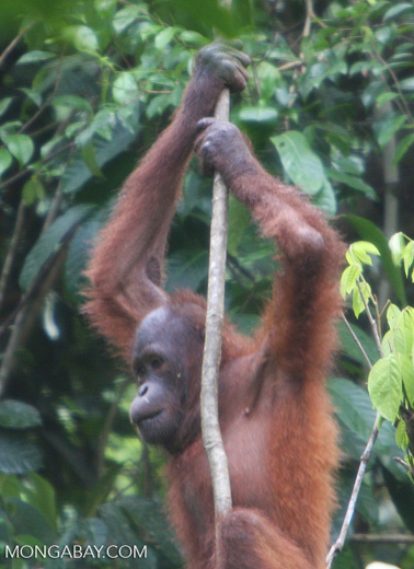 Young orangutan -- borneo_5213