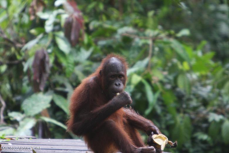 Young orangutan eating a banana at Sepilok -- borneo_5224