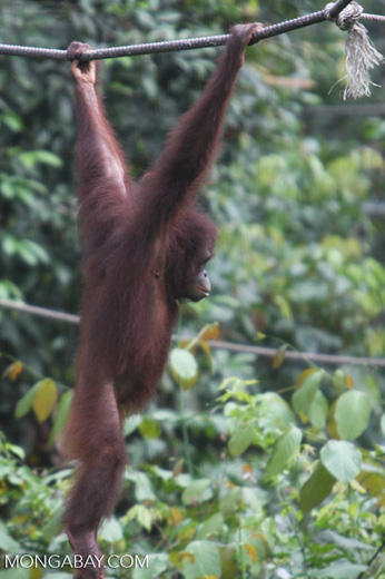 Young orangutan swinging from a rope at Sepilok