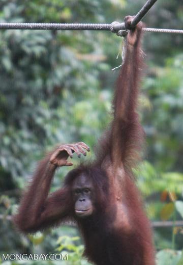 Young orangutan hanging from a rope at Sepilok