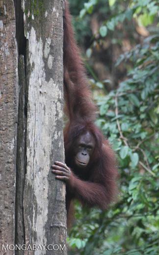 Orangutan on a tree trunk -- borneo_5258