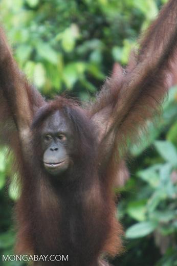 Orangutan hanging from an access rope at Sepilok -- borneo_5270