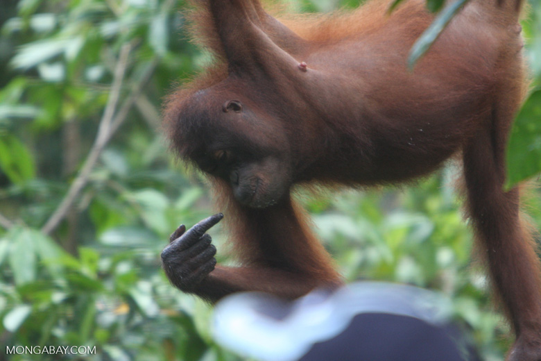 Orangutan pointing to itself while hanging from a rope