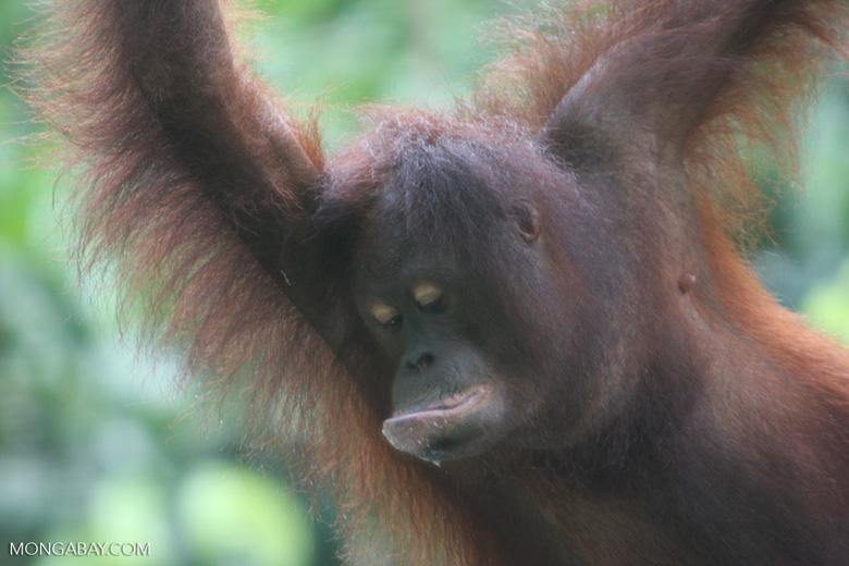 Young orangutan -- borneo_5303