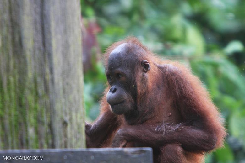 Orangutan at Sepilok -- borneo_5308